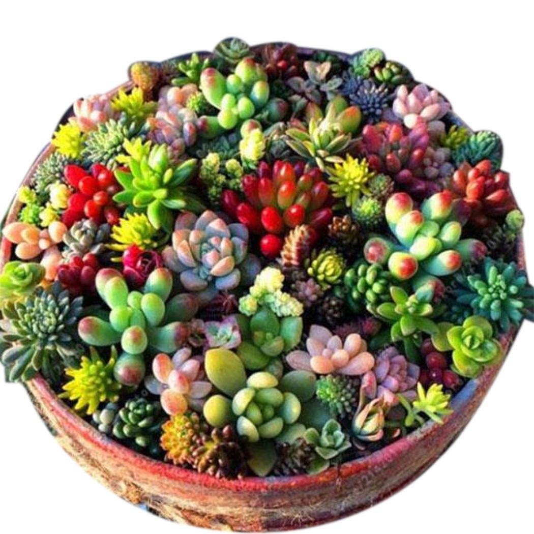 80% off MYEDO 100 Pcs Mixed Succulent Anti-Radiation Fleshy Seeds Potted Flower Flowers
